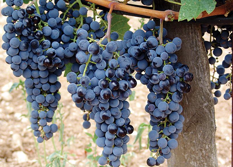 сорт винограда мерло фото собрали подборка